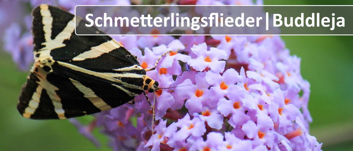Schmetterlingsflieder