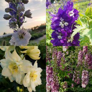 10 Pflanzen Rittersporn (Delphinium) Mix
