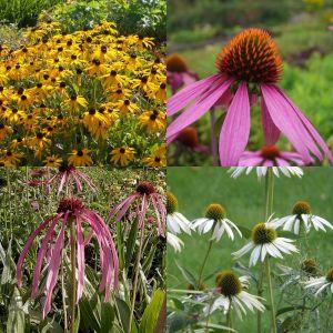 10 Pflanzen Sonnenhut (Echinacea und Rudbeckia) Mix