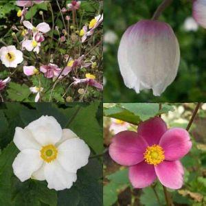 10 Pflanzen (Anemonen / Herbstanemonen) Mix