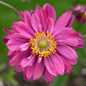 Anemone (Anemone japonica) Pamina