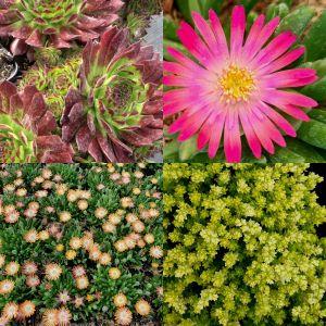 12 Pflanzen (Sempervivum) Mix