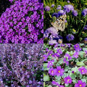 14 Pflanzen (Steingarten Bodendecker in Blau) Mix
