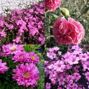 14 Pflanzen (Steingarten Bodendecker in Rosa) Mix
