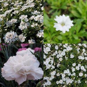 14 Pflanzen (Steingarten Bodendecker in Weiß) Mix