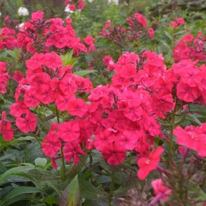 Flammenblume (Phlox paniculata ) Red Riding Hood