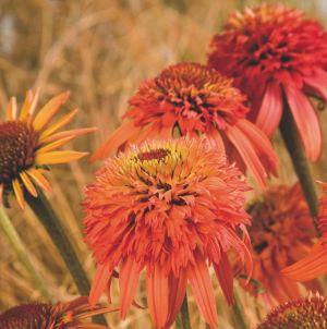 Sonnenhut (Echinacea purpurea) Irresistable