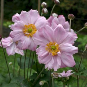 Anemone (Anemone japonica) Königin Charlotte