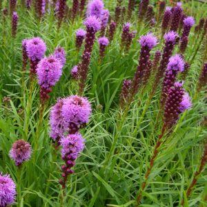 Prachtscharte ( Liatris spicata ) FLORISTAN Violet