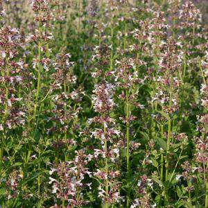 Katzenminze (Nepeta grandiflora) DAWN TO DUSK