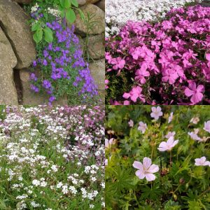 20 Pflanzen (Polster- / Kissenstauden) Mix