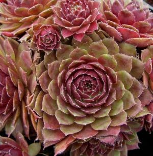 Roter Dachwurz (Sempervivum tectorum) Atropurpureum
