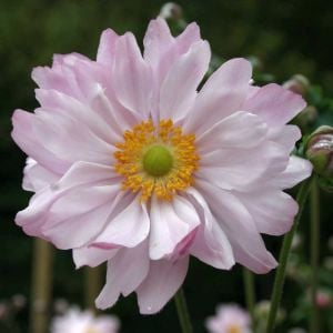 Anemone (Anemone japonica) Mont Rose