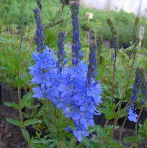 Österreichischer Ehrenpreis (Veronica austriaca ssp. teucrium) Königsblau