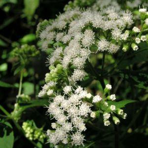 Weißer Gartendost (Eupatorium rugosum)