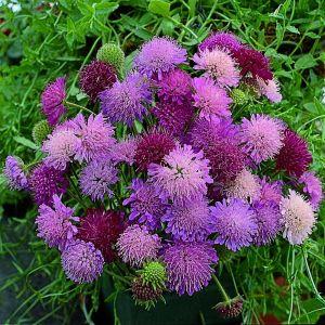 Mazedoniasche Witwenblume (Knautia macedonica) Melton Pastels