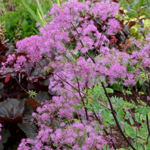 Wiesenraute (Thalictrum aquilegifolium) Black Stockings