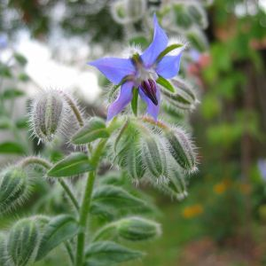 Borretsch (Borago officinalis)