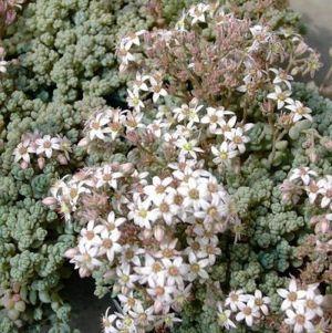 Teppichsedum (Sedum dasyphyllum)