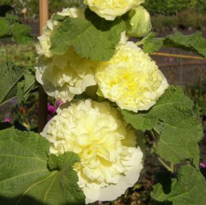 Stockrose (Alcea rosea plena ) CHATERS Gelb