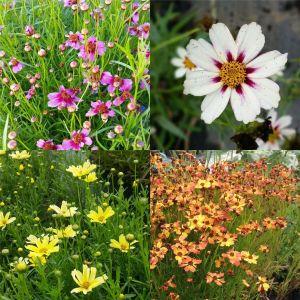 5 Pflanzen Mädchenaugen (Coreopsis) Mix