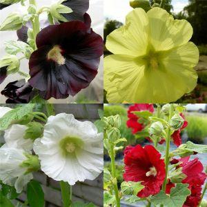 5 Pflanzen ungefüllter Stockrosen (Alcea) Mix