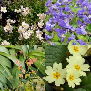 50 Pflanzen (für ein Schatten-Beet mit PFLANZPLAN) Mix
