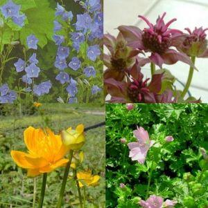 16 Pflanzen (Hohe Beetstauden Bunte Mischung) Mix