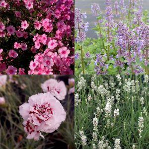 5 Vierländer Pflanzen (Duftstauden für den Kübel auf Terrasse und Balkon) Mix