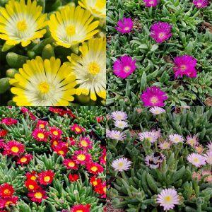 5 Pflanzen Bunter Mittagsblümchen (Delosperma) Mix
