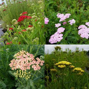 5 Pflanzen Schafgarben (Achillea) Mix
