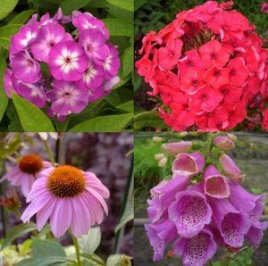7 Pflanzen (Sonnenhut + Flammenblume + Fingerhut) Mix