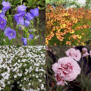 7 Pflanzen (für einen üppig blühenden Balkonkasten) Mix