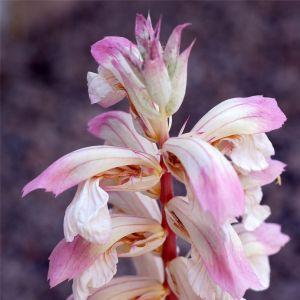 Bärentatze (Acanthus) Whitewater