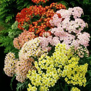 Schafgarbe (Achillea millefolium) Summer Pastels