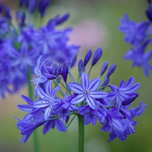 Schmuck-Lilie (Agapanthus) Northern Star