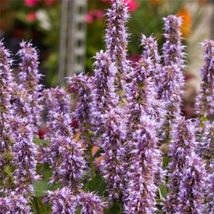 Duftnessel (Agastache mexicana) Blue Fortune