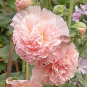 Stockrose (Alcea rosea plena) CHATERS Apricot