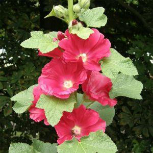 Stockrose (Alcea rosea ) rot / pink einfach