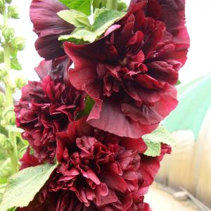 Stockrose (Alcea rosea plena) CHATERS Purpur