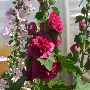 Stockrose (Alcea rosea plena) CHATERS Violett