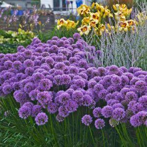 Berglauch Zierlauch (Allium senescens) Millennium