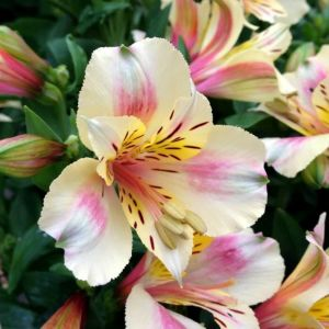 Inkalilie (Alstroemeria) LITTLE MISS Christina