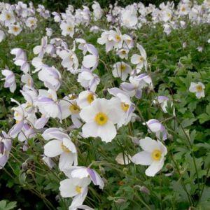 Herbst-Anemone (Anemone japonica) Wild SWAN®