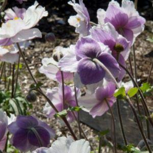Herbstanemone (Anemone) Dreaming SWAN