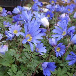 Strahlenanemone (Anemone blanda) Blue Shades
