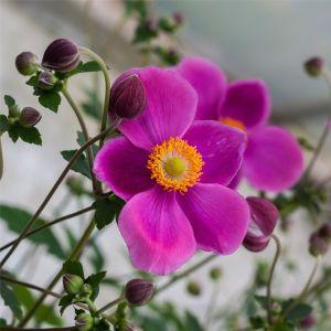Anemone (Anemone hupehensis) PRAECOX