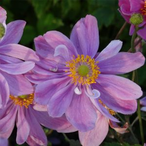 Herbst Anemone (Anemone_hupehensis) Pretty-Lady-Emily