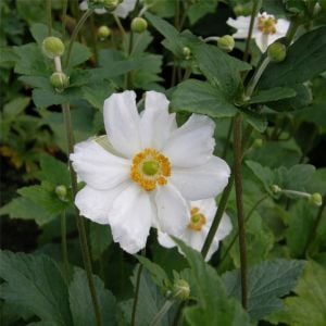 Anemone (Anemone japonica) Andrea Atkinson