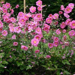 Anemone (Anemone japonica) Margarete